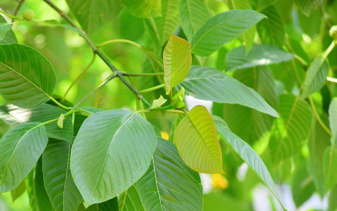 Does Kratom Really Kill? Officials Aren't Telling Us The Whole Story.