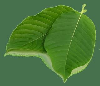 Mitragyna Speciosa Leaves